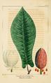 NAS-056 Magnolia fraseri.png