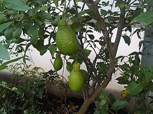 Lumia (citrus) - Developing fruit