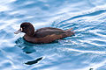 NZ220315 Scaup Queenstown.jpg