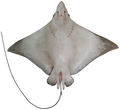 Naru Eagle Ray vent.png
