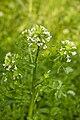 Nasturtium officinale marais-blangy-tronville 80 25052007 2.jpg