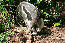 NationalZooAnteater.JPG