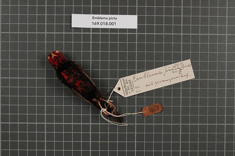File:Naturalis Biodiversity Center - RMNH.AVES.1836 2 - Emblema picta Gould, 1842 - Estrildidae - bird skin specimen.jpeg