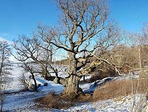 Naturminnesskyddade träd i Görvälns naturreservat 02.jpg