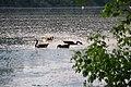 Naturschutzgebiet Lampertheimer Altrhein Kanadagänse mit Kücken im Fretter Loch.jpg