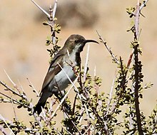 Nectarinia fusca -Northern Cape, South Africa-8.jpg