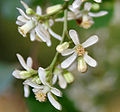 Neem (Azadirachta indica) in Hyderabad W2 IMG 7006.jpg