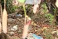 Nepenthes 'Miranda' (47).jpg