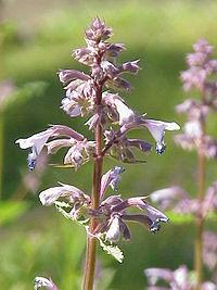Nepeta grandiflora1