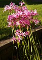 Nerines - Guernsey Lily - geograph.org.uk - 1052141.jpg