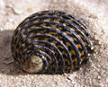 Nerita exuvia shell.jpg