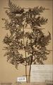 Neuchatel Herbarium Types NEU000113020.tif