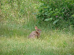 New England cottontail.jpg