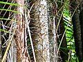 Nibong Palms (Oncospermum sigillarium) spiny trunks (8216705921).jpg