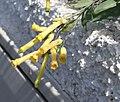Nicotiana glauca (Tenerife).jpg