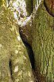 Niedersachsen, Brambostel, Naturdenkmal ND UE 00099 04.jpg