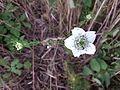 Nigella arvensis sl6.jpg