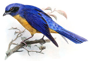 1864 in birding and ornithology - The vivid niltava was described in 1864