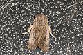 Noctuidae sp. (23817864475).jpg