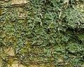 Normandina pulchella - Flickr - pellaea (1).jpg