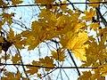 Norway Maple (31075851545).jpg