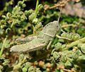 Nymph of Egyptian grasshopper. Anacridium aegyptium - Flickr - gailhampshire (2).jpg