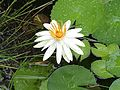 Nymphaea pubescens at my place.jpg