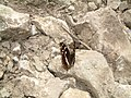 Nymphalidae - Apatura iris - 3.jpg