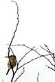 Nystalus maculatus maculatus -Brazil-3.jpg