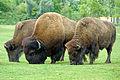 ONTARIO-00537 - American Bison (14820335266).jpg
