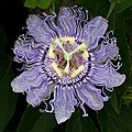 OQ Passion flower.jpg