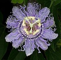 State Wildflower Pion Flower