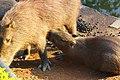 O Amamento do filhote de Capivara.JPG