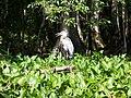 Ocala Silver River bird02.jpg