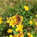 Ochraethes sommeri (Coleoptera).jpg