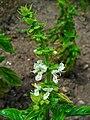 Ocimum basilicum 002.JPG