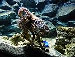 Octopus-vulgaris-3.jpg