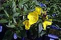 Oenothera fruticosa glauca Fireworks 2zz.jpg