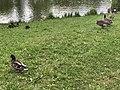 Oiseaux Île Bercy Paris 2.jpg