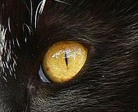 El iris característico de los gatos durante la exposición de un espécimen a la luz del día. En el extremo inferior izquierdo, se puede apreciar parte de la membrana nictitante.