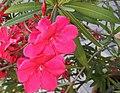Oleander - panoramio (2).jpg