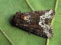 Oligia strigilis - Marbled minor - Злаковая совка светло-бурая (27257526988).jpg