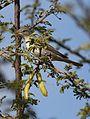 Olive-tree warbler, Hippolais olivetorum, at Zaagkuildrift Road near Kgomo Kgomo, Limpopo, South Africa (33182570040).jpg