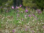 Olsynium douglasii Meeks Table 3.jpg