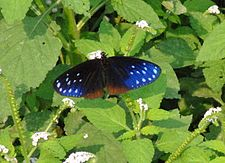 Open wing position of Euploea sylvester Fabricius, 1793 – Double-branded Crow WLB DSC 0130.jpg