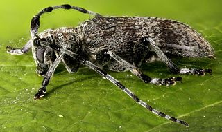 Desmiphorini beetle