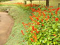 Orangish flowers at Sims Park.JPG