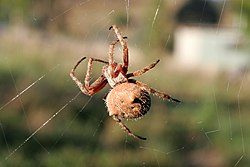 Orb weaver spider day web03.jpg