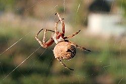 Orb weaver spider (family: Araneidae)