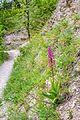 Orchidee (Knabenkraut, Gattung Orchis) am Muschelkalkhang im Naturschutzgebiet 'Kernberge und Wöllmisse' bei Jena.jpg